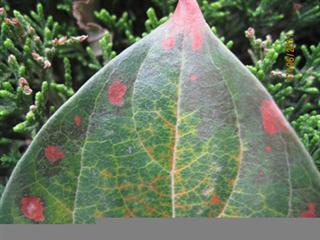 柿树角斑病